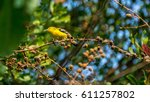 Small photo of Bird (Common Iora, Aegithina tiphia) yellow color perched on a tree in the garden