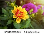Dahlia Flower In Yellow And Re...