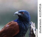Small photo of The Senegal coucal (Centropus senegalensis) is a member of the cuckoo order of birds, the Cuculiformes, which also includes the roadrunners, the anis, and the hoatzin.