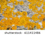 Small photo of macro of mustard yellow saxilocous caloplaca lichen set on gray granite rock for botanical details and beautiful environment background