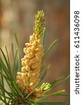 closeup to pine male... | Shutterstock . vector #611436098
