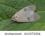 Small photo of Tiger moth (Amerila arthusibertrandi).