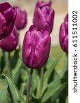 single early tulip purple prince | Shutterstock . vector #611511002