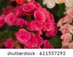 colorful begonia flowers | Shutterstock . vector #611557292