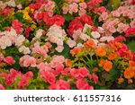 colorful begonia flowers | Shutterstock . vector #611557316