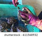 turtles in tortoise breeding... | Shutterstock . vector #611568932