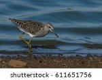 Small photo of African Snipe hunting in the shallow water for insects