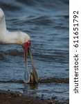 Small photo of African Spoonbill with small catfish it caught in a natural lake in the veld