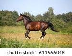 beautiful bay horse galloping... | Shutterstock . vector #611666048