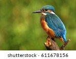 Common Kingfisher  Alcedo...