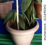 Small photo of Verbinum, Botanical Name: Rhynchotechum ellipticum, Family: Gesneriaceae, Mezenga