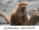 blue eyed lemur | Shutterstock . vector #611719175