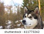 portrait of malamute dog in a... | Shutterstock . vector #611773262