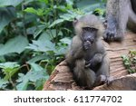 baboon youth sitting on log... | Shutterstock . vector #611774702
