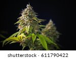 detail of cannabis cola ... | Shutterstock . vector #611790422