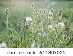thistles in bloom at sunset.... | Shutterstock . vector #611809025