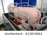 beautiful pink pigs in...   Shutterstock . vector #611814062