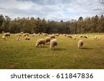 Sheep And Lambs In A Meadow...