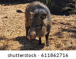 american pigs peccaries in the... | Shutterstock . vector #611862716