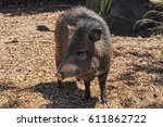american pigs peccaries in the... | Shutterstock . vector #611862722