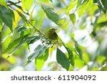 Small photo of Green iora (Aegithina viridissima) in Sabah, Borneo