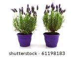 Lavender Stoechas Plant In...