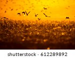 Stock photo flying birds birds silhouettes warm color nature background bird species common starling 612289892