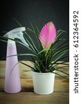 Small photo of Tillandsia cyanea pot isolated on wooden background with sprayer.