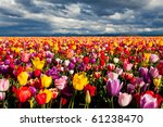 Field Of Tulips In Spring Unde...