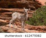 Desert Big Horned Lamb Standing ...