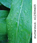 fresh green galangal leaves... | Shutterstock . vector #612504605