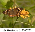 Buckeye Butterfly On Zinna