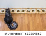 Maine Coon Cat Eating Feed