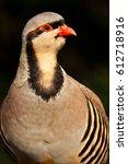 Small photo of Chukar Partridge or Chukar (Alectoris chukar)