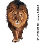 lion walking and looking at... | Shutterstock . vector #612755585