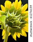 closeup of sunflower on black background - stock photo