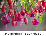 Hanging Fuchsia Flowers In...