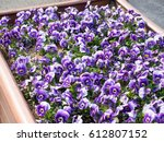 Purple Pansy Flowers