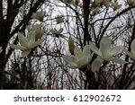 magnolia | Shutterstock . vector #612902672