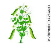 Growing Peas Plant Isolated...