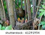 The Blackbird  Urdus Merula  A...
