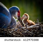 Sandhill crane colt (chick) says hello to Mom