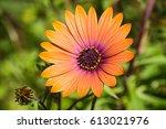 Close Up Of Orange African...