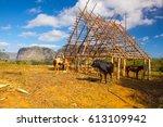 famous cuba farmland tobacco...   Shutterstock . vector #613109942