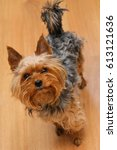 Small photo of Small Yorkshire terrier looking up and yap. focus on a nose
