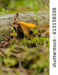 chanterelle   mushroom with a...   Shutterstock . vector #613158338