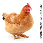 brown hen isolated on white ... | Shutterstock . vector #613215332