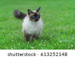 Siamese Cat Playing In The...