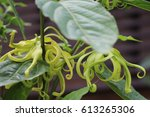 ylang ylang therapy flowers on... | Shutterstock . vector #613265306