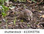 Brown Rat  Rattus Norvegicus ...